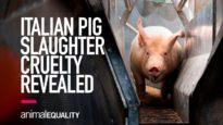 Shocking Cruelty Shown in Italian Slaughterhouse Video