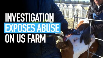 Undercover Investigation into US Calf Ranch Supplier of Bel Brands