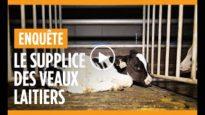 Enquête sur le calvaire des veaux laitiers : un lanceur d'alerte dénonce