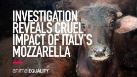 INVESTIGATION: The Cruel Impact of Italy's Buffalo Mozzarella Production