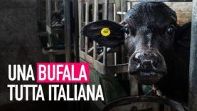 Una bufala tutta italiana: la verità dietro la mozzarella di bufala!