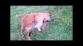Carmen The Tripod Lamb