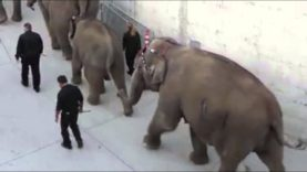 Circus Elephant's Wounds Caught on Tape