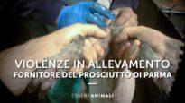 Crudeltà su maiali in un allevamento del prosciutto di Parma - Essere Animali
