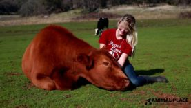 Cuddling with a Rescued Cow