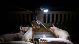 Dentro gli allevamenti intensivi con Essere Animali e Tras Los Muros