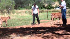 Douglas + Linus, rescued male dairy calves, enjoy new pastur