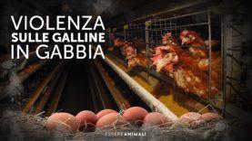 Galline in gabbia e maltrattate – Indagine sotto copertura Essere Animali