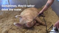 How Rescued Pigs Stay Cool