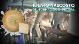 Il lato nascosto del formaggio di pecora – Indagine di Essere Animali