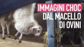Immagini CHOC, pecore decapitate in un macello inglese