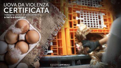 Indagine SHOCK sulla produzione di uova - Essere Animali