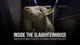 Inside the slaughterhouse. Undercover investigation in spanish slaughterhouses.