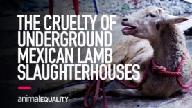 INVESTIGATION: Animal Equality Uncovers Horror of Mexican Backyard Lamb Slaughterhouses