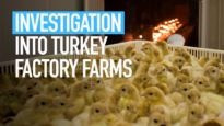 Investigation into turkey factory farms