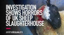 INVESTIGATION: Sheep Brutally Killed in UK Slaughterhouse