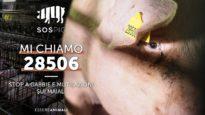 Maiali in Gabbia e Mutilati negli allevamenti intensivi italiani – #SOSpig – Essere Animali