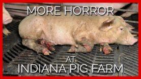 More Horror at Indiana Pig Farm