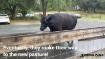 Moving Cows to New Pasture