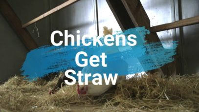 Rescued Chickens Get New Straw