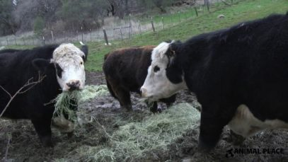 Rescued Cows Get Grass Hay