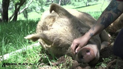Rescued Pig Brian Saved from Slaughter