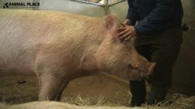 Rescued Pig Cleo Loves Getting Her Ears Cleaned!