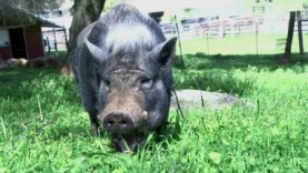 Rescued Pig Roams and Grazes on Grass