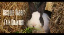 Rescued Rabbit Eats Cilantro