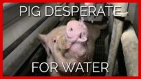 This Pig Was Desperate for Water