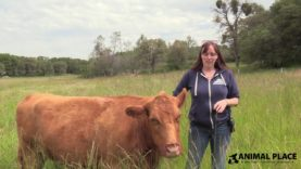 Timid to Trusting: Daffodil the Blind Cow