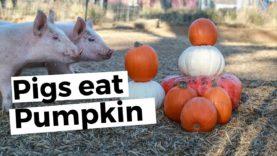 30 Seconds of Piglets Eating Pumpkin