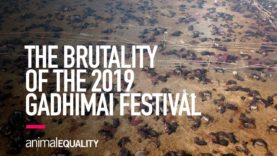 INVESTIGATION: The Brutality of the 2019 Gadhimai Festival