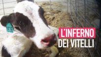 L'inferno dei vitelli negli allevamenti