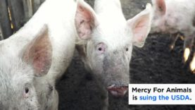 Mercy For Animals is Suing the USDA (2019)