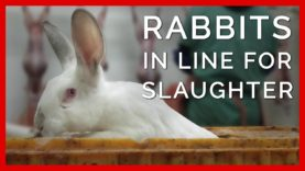 Rabbits Wait for Their Turn to Be Slaughtered for Fur