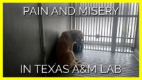 Pain and Misery in a Texas A&M Laboratory