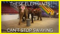 The Reason These Elephants Can't Stop Swaying Will Break Your Heart