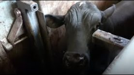 Live Export: Animals Violently Forced onto Ships and Brutally Killed