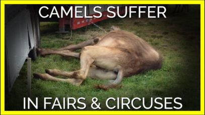 This Is How Camels Suffer at Circuses and Fairs