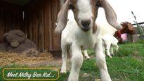 Goats Jumping