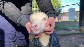 Happiness is... Lamb Cuddles