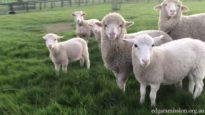 Lambs Running