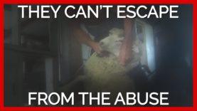 Sheep Shearer Punches Sheep in Face