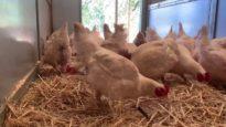 Chickens enjoy new straw