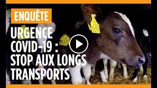 Le transport des veaux d'Irlande aux Pays-Bas en passant par la France