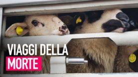 Viaggi della morte: le crudeltà del trasporto degli agnelli