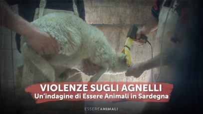 Violenze sugli agnelli - Un'indagine di Essere Animali