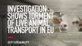 INVESTIGATION: Animal Equality Shows Torment of EU Animals Shipped for Slaughter