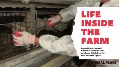 Life Inside an Egg Farm
